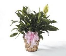 6 inch peace lily